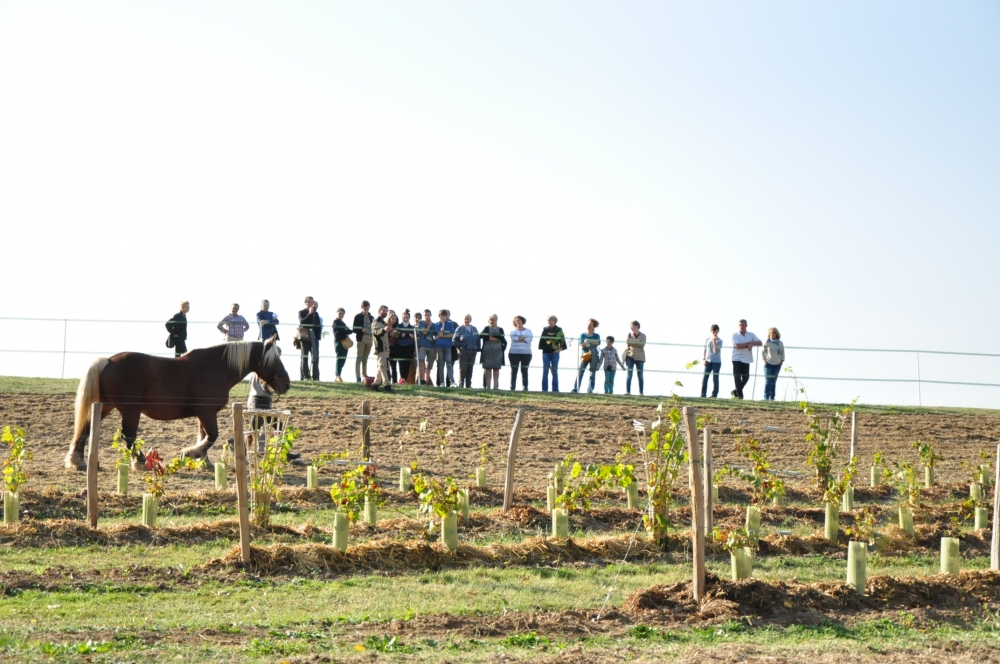 Malabar pastoral, pâture viticole, 2018 Amboise